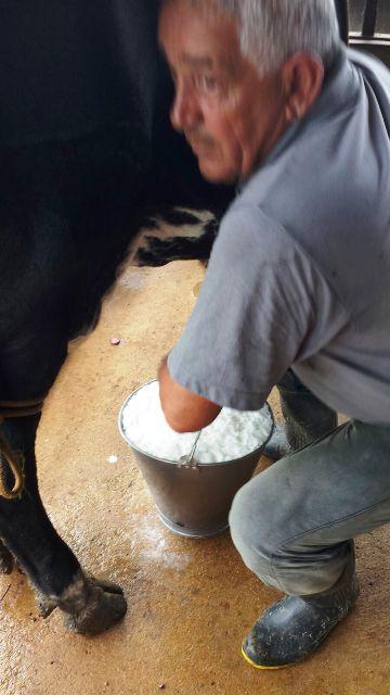 Waldemar, marido da Sônia, tirando leite