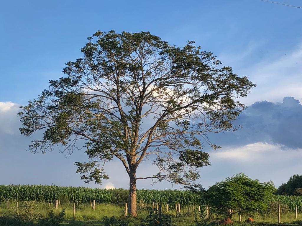 Árvore e milharal na fazenda do papai: 19.012019