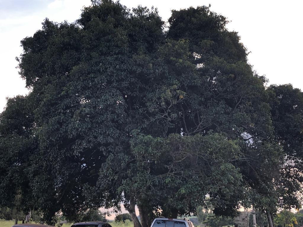 Árvore lá na casa do papai - 19.01.2019